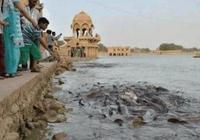 印度的鯰魚到底有多恐怖?小夥往河裡丟了點麵包,這場面真震撼!