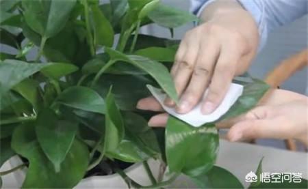 綠蘿怎麼養殖?