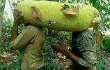 """越南香蕉重達1公斤,馬來木菠蘿長一米,各區果菜""""奇異""""大比拼"""