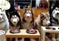 可愛的雪橇犬家族哈Doglife