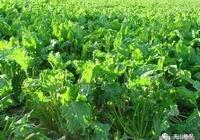 甜菜種植方法,甜菜畝產10噸栽培技術