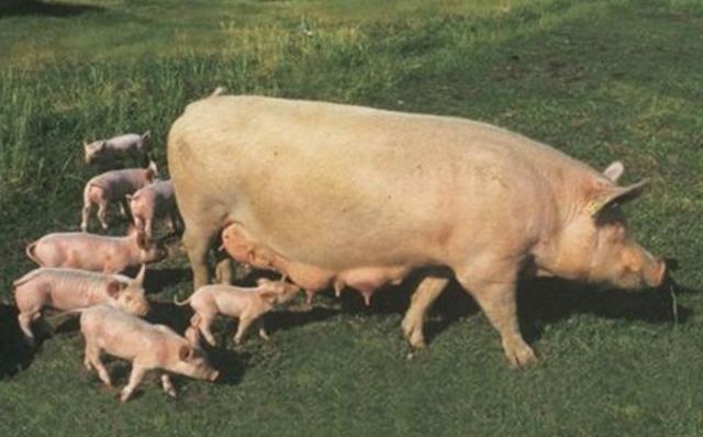 養豬汙染環境!還怎麼養豬?