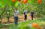 貴州黔西:石頭縫裡長出來的櫻桃格外香甜!