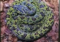 提醒:高中生養劇毒蝮蛇當寵物!掰開毒牙給寵物上藥……