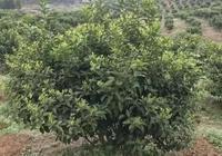 春梢柑橘病蟲害危害大,合理預防是大事