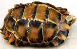 動物圖集:凹甲陸龜