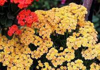 """養長壽花,就""""這樣""""養,按照這個""""方法"""",開花能開""""幾百朵"""""""