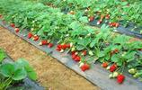有著菠蘿味道的草莓——菠蘿莓