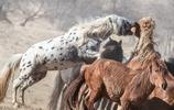 全中國獨一份!馴服能踢死狼的烈馬需要什麼樣的方法?