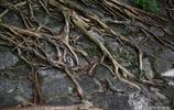 實拍:南寧清代古城牆長出4顆大榕樹 石頭縫裡紮根卻枝繁葉茂