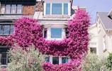 三角梅入侵|嚮往的生活就是住在開滿花的房子