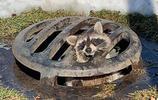 美國小浣熊卡在井蓋上 一臉生無可戀等警察相救