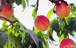 大學畢業回到家鄉農村做農業,90後小夥子幫果農網上賣桃子!