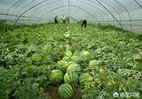 農戶種植西瓜的地裡很多雜草,有什麼好法可以去除雜草?