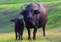 回憶我家的水牛