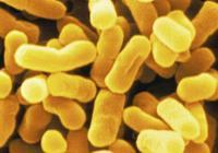 大腸桿菌病對養禽業的危害與防治
