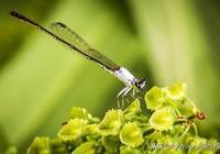 昆蟲攝影:如何拍攝飛翔中的昆蟲