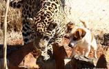 花豹和狗相處讓館主很擔心,實情恰恰相反狗比花豹還凶