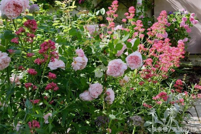這11種超漂亮草花,與月季搭配種植,讓你的院子美翻天!