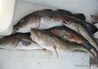 實際上銀鱈魚並不是鱈魚!農村第一書記5招分辨鱈魚、銀鱈魚
