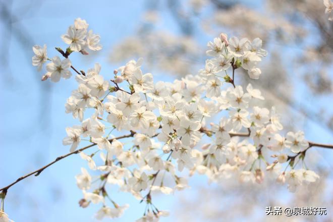 濟南人賞櫻花都愛去這個地方,花期只有十天,客流堪比黃金週