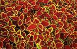 彩葉草,是脣形科,鞘蕊花屬直立或上升草本