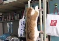 宿舍裡養寵物被舉報,被宿管阿姨進門看到,橘貓:快幫我