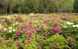 山裡的人:曾遊洛陽國花園,賞千姿牡丹,真是很漂亮啊!