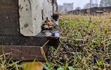 80箱中蜂,3個月才產300斤蜜,冬日已遠,蜂農的春天來了嗎?
