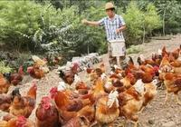 養雞祕訣:養雞幾十載,給你八個養雞忠告!
