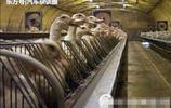 揭祕法國鵝肝殘忍生產過程!