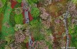 太美了!航拍貴州櫻花引眾多遊客觀賞