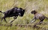 欺軟怕硬的獵豹興奮的獵食落單的小角馬,卻把獵豹嚇夠嗆