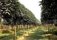 桂花樹移栽定植後如何養護管理?