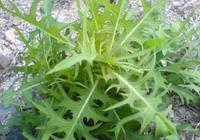 """農村這種野菜,人稱""""山萵苣"""",入藥20元一斤,你見過嗎?"""