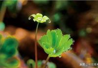 國家一級瀕危珍稀保護植物:獨葉草