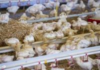 雞大腸桿菌病的治療