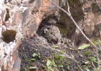 稱多縣首次發現雪豹