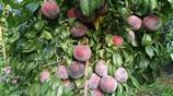 這種水果又紫又甜,農民伯伯養了十幾年,第一次經歷大豐收!