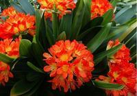 一步教給你給君子蘭留種子!讓君子蘭年年多開花