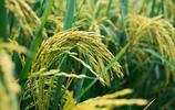 """被譽為""""雜交水稻之父""""的水稻,是人類主要糧食作物"""