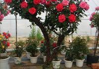 """此花被譽為""""最美花樹"""",花開270天,庭院裡種2棵就美如詩畫!"""