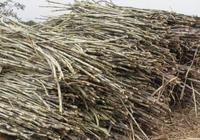 去年的甘蔗收購價低,導致還有很多沒收完,但今年糖廠又說大力扶持甘蔗種植,該怎麼辦?