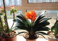 如何養出優質君子蘭?做好這6點,你也能養殖出剛硬亮的君子蘭