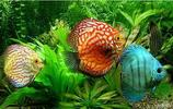 水中精靈 七彩神仙魚