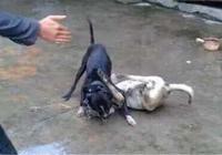比特犬暴揍小土狗,五分鐘後,10幾隻土狗兄弟找上門來!