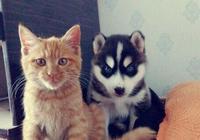 想培養只哈士奇當貓咪的後臺,不料主人哭喊還我的貓來啊!