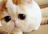 每日一貓:異國短毛貓,可愛到萌死人的加菲又回來了