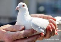 為什麼農村老人說,殺鴿子不能放血,要用水淹,這樣才有營養?