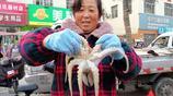 菜市場鮮活海鮮增多 八帶鮹 小黃魚 活蠣蝦等 墨斗魚好吃有點怕人